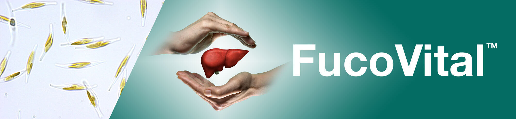 Fucovital can help manage fatty liver cells